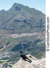 Crow Cape town