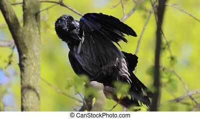 crow cleans feathers after bathing slow motion, change of...