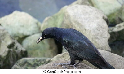 Crow Eating - A crow sitting on a rock eating fish.