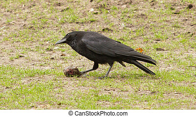 Crow eating a piece of meat (Holland)
