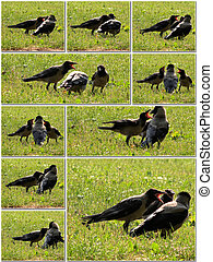 Crow feeds her young with care