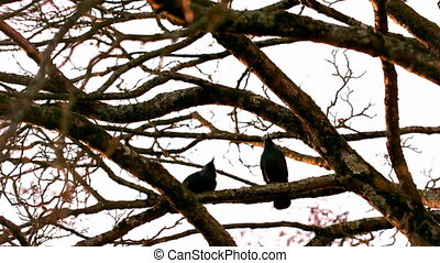 Crow flying from branch to branch in slow motion