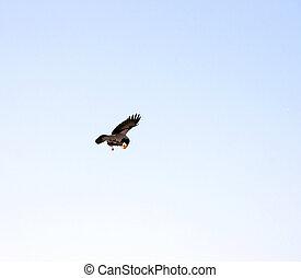 Crow in sky