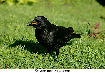 Crow in the grass