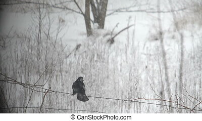 Crow in the snowfall