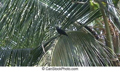 crow India coco