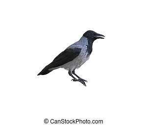Crow isolated on white from side view