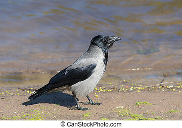crow near the water