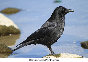 Crow observing - Black crow standing on a rock near the...