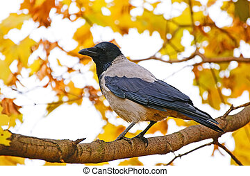 Crow on a background of yellow autumn leaves