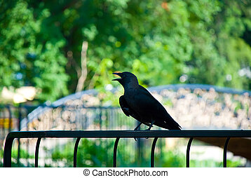crow on a fence - crow sitting on a fence