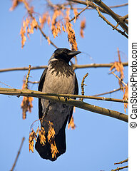 crow on a maple branch