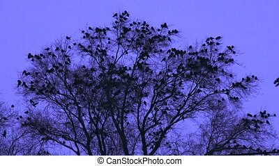 crow on a tree  evening