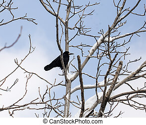 crow on a tree in winter
