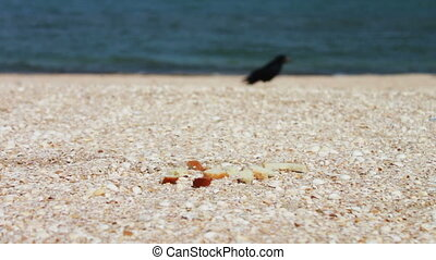 Crow on the beach quickly takes the food and flies away. -...
