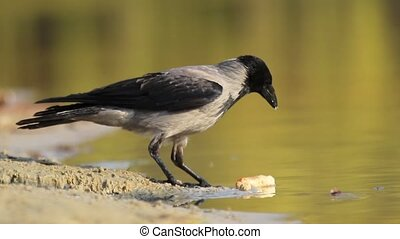 crow on the lake eats cheese, wildlife birds