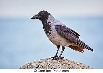Crow on the Stone