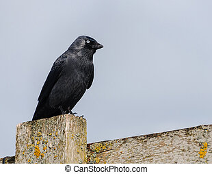 Crow perched on a fence - Crow perched on a wooden fence