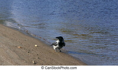 Crow search food on sandy riverside beach - Crow search food...