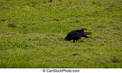Crow searching for food