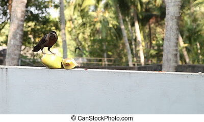 Crow sit near coconut