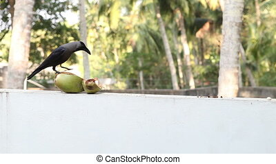 Crow sit near coconut - black crow eat coconut and flies and...