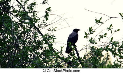 Crow sits on a branch