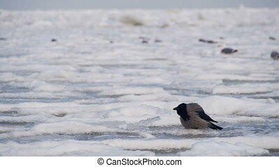 Crow Sits on the Frozen Ice-Covered Sea. Big gray Crow in...