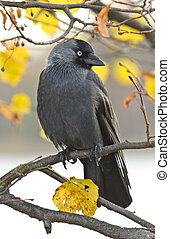 Crow sitting in a tree