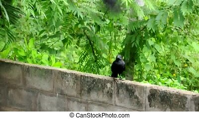 Crow - South Indian crow