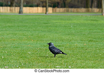Crow standing on a neat green lawn in a park
