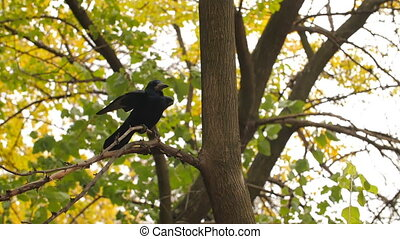 Crow takes off from tree - Rook on a branch taking off in...