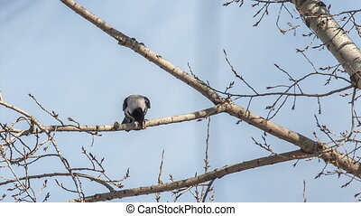 Crow - The crow has breakfast sitting highly on a tree