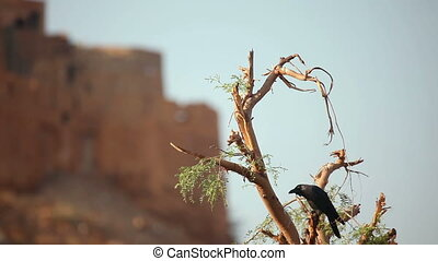 Crow on a leafless tree.