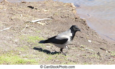 Crow walks on the river - The crow walks on the river 4