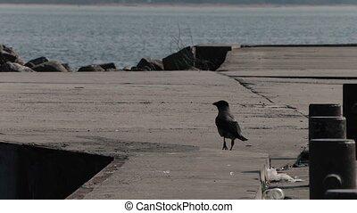 crow walks on the sea pier