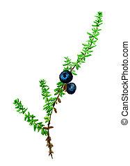 crowberry, aquarell, bild