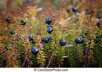 Crowberry. Berries and bushes/