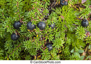 Crowberry bush - Closeup of wild black crowberries on...
