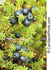 Crowberry (Empetrum)
