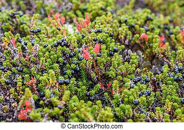 crowberry, natürlich, wald, form, ihr