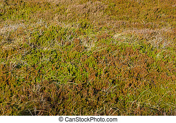 crowberry, oder, empetrum