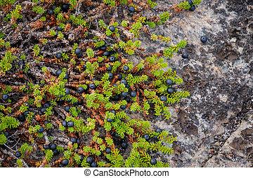 crowberry, schwarz, rocks., meer, weißes, russland