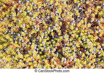 crowberry, schwarzer hintergrund, empetrum, blumen-, nigrum
