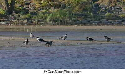 Crowd of crows search food on riverside beach - Crowd of...