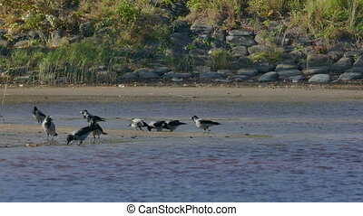 Crowd of crows search food on sandy riverside beach - Crowd...