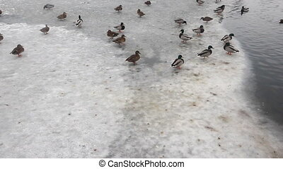 crowd of ducks on lake ice in the spring