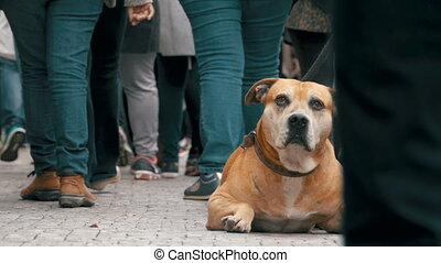 Crowd of Indifferent People on the Street Pass by Sad, Tied Faithful Dog