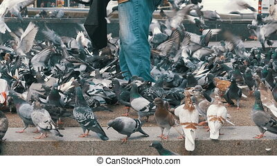 Crowd of Pigeons at the Feet of a Man on the Sidewalk -...