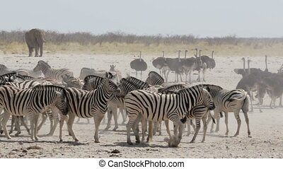 Crowded waterhole with zebras and osrtich. Etosha national...